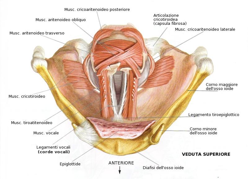 La laringe non è nata per cantare
